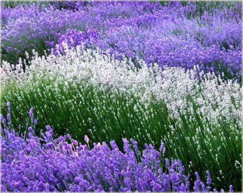 Sharing 190 Inspiring Beautiful Fascinating Flower Pics In 2020 Ground Cover Plants Lavender Farm Lavender Plant