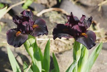 A standard dwarf bearded (SDB) iris called 'Devil Baby' from the awesome people at Rainbow Iris Farm.     Go Kelly!