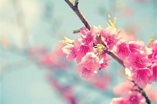 Bunga Sakura Kata Mutiara Steemit