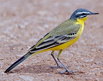 Western Yellow Wagtail, Mota-cilla flava: breeds in much of temp Europe & Asia