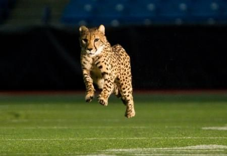 """Cheetahs given the """"run"""" of Tropicana Field. Click through to see the video of these beautiful animals running the length of the field."""
