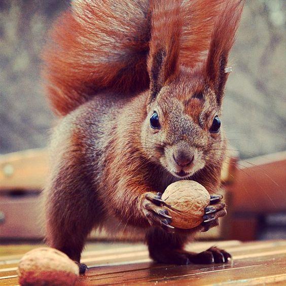 Una ardilla disfruta de sus nueces en el parque Lazienki en Varsovia Foto: AFP