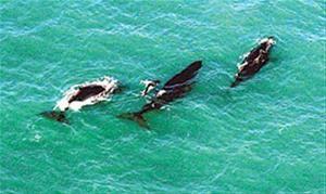 Baleias Jubarte em Cumuruxatiba.
