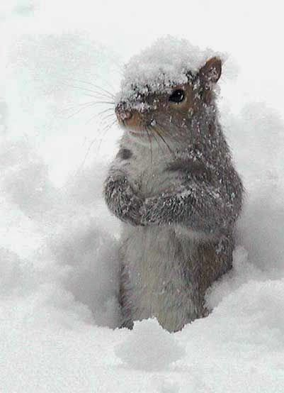 Winter squirrel……..NOW LET ME THINK !!..WHERE DID I HIDE THAT LAST STASH OF NUTS???????…………….ccp: