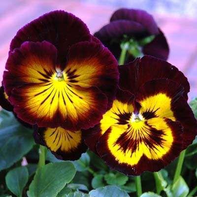 Karma Midnight Sun pansy seeds - dark purple-black and ...