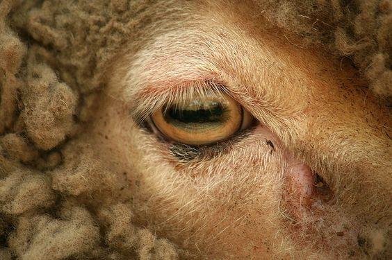 Goat eye.