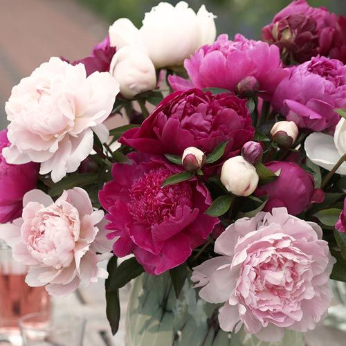 Five of the very best double peonies you can grow, this value collection of classics will provide pleasure in the garden and in the vase for years to come.