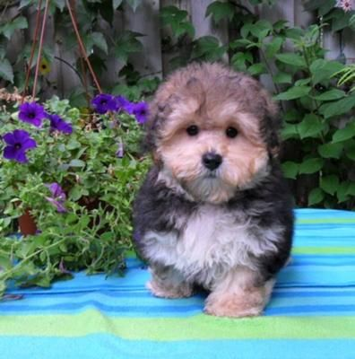 All hail the Morkie puppy. The cutest thing I've ever seen