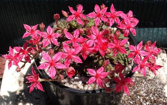 Sementes De Suculenta Tacitus Bellus Echeveria Flor P/ Muda - R$ 9,90 no MercadoLivre
