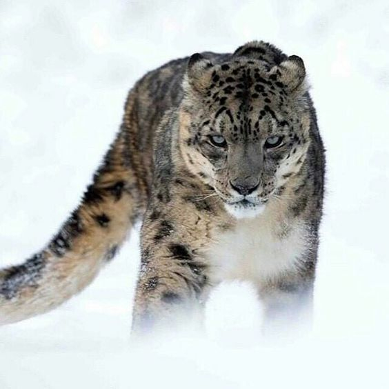 Leopardo de nieves