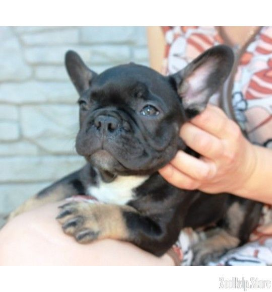 French Bulldog Exclusive Puppies Price 1 400 Bulldog Puppies
