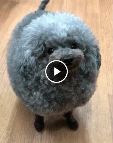Cachorro que parece uma ovelha.