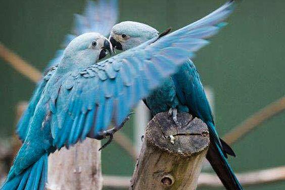 Foto: Projeto Ararinhas na Natureza