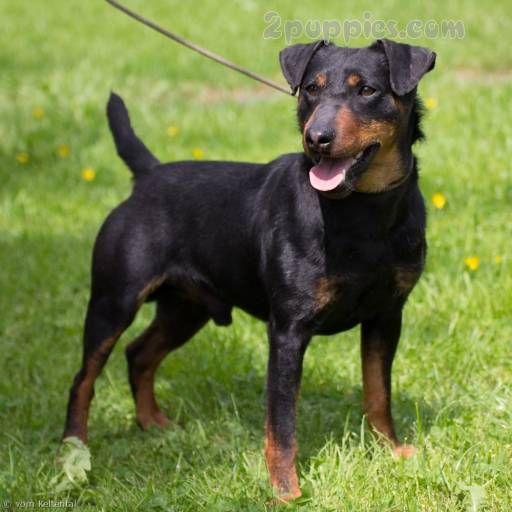 German Hunting Terrier Dog Breed Description And Characteristics Dog Breeds Rat Terrier Dogs Schipperke Dog