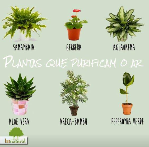 Plantas q purificam o ar