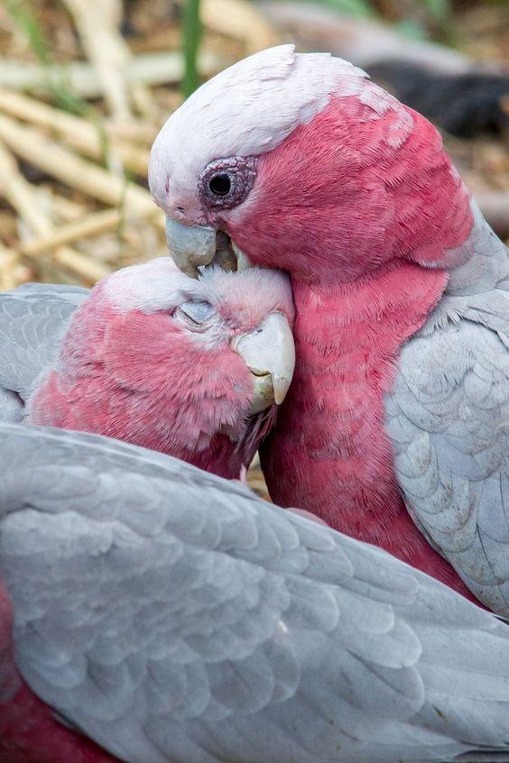 Galah Cockatoo Love