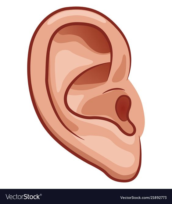 Ear on white background Royalty Free Vector Image