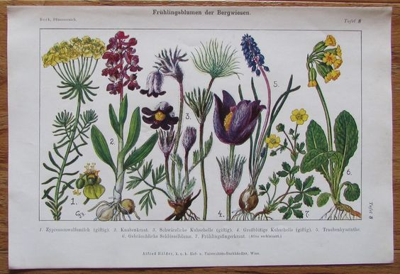 FRÜHLINGSBLUMEN DER BERGWIESEN Farbdruck Antique Print Lithographie Blumen