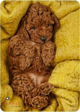 Toy Poodle Puppy. When I get this color in the future, I will name him Fozzie!