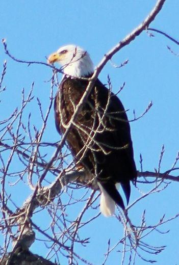 Bald Eagles of St. Albans Bay