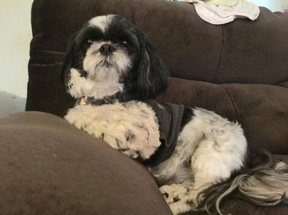 OLLIE - Speciality Male / Neutered Fee $300  Foster Location Peterborough  Breed Guess Shih Tzu  Age 8 Years Old Weight Unknown