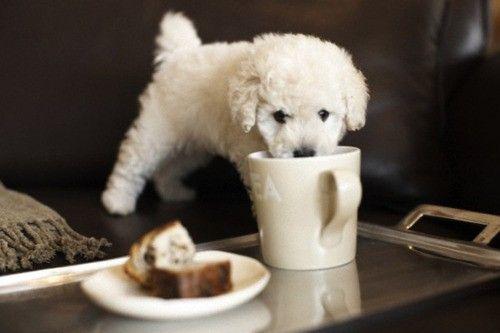 poodle tacita de té poodle teacup