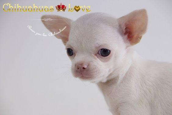 Chihuahuas Love - Macho Chihuahua Blanc. Venta Chihuahuas Blancos.