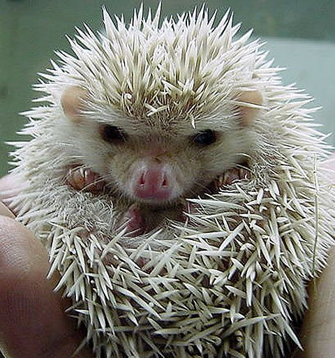 The African pygmy, like most other hedgehogs, can roll himself (or herself) into a ball, tucking its head, feet, and belly securely inside if it becomes frightened. And when it does become scared or angry, it can chirp, hiss, and growl or (depending on how mad you make it) let out a loud scream!: