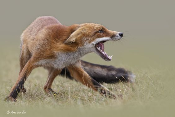 Defence... - This cute red fox was defending herself from another fox. She took…