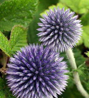 <h2><br/>6月から8月にかけて入荷します。紫色の球は、お花の集合体。形のおもしろさを生かしてお花の添えに使いたい。初夏らしい演出にどうぞ。</h2>