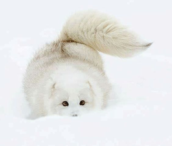 ARCTIC FOX....aka the white fox or snow fox.....found on tundra in Alaska, northern Canada, Greenland, northern Europe and northern Asia....measures 21 - 22 inches long with a 12 inch tail....averages 8.75 lbs.....about the size of a large house cat, maki