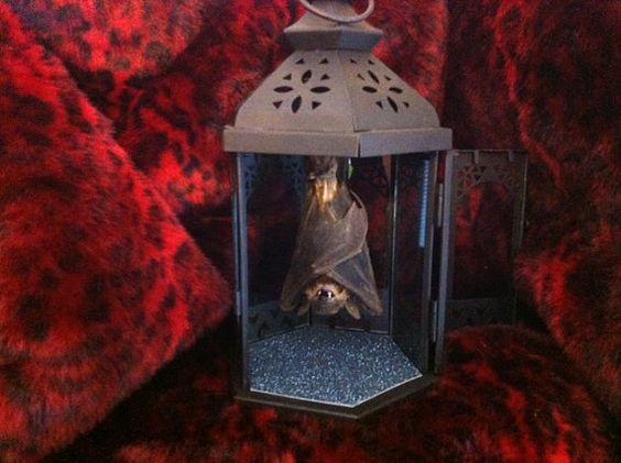 Taxidermy Bat in Lantern Curio Preserved Specimen by AsylumArtwork