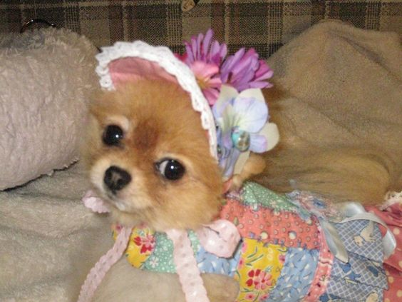 "Aunt Dawn made me this pretty dress for my first Easter.  It is all pieced together and quilted.  Don't you like my pretty hat.  Mommy put flowers on it so I have a real Easter Bonnet................""In my Easter bonnet, with all the frills upon it.............. #pomeranianaccessories"