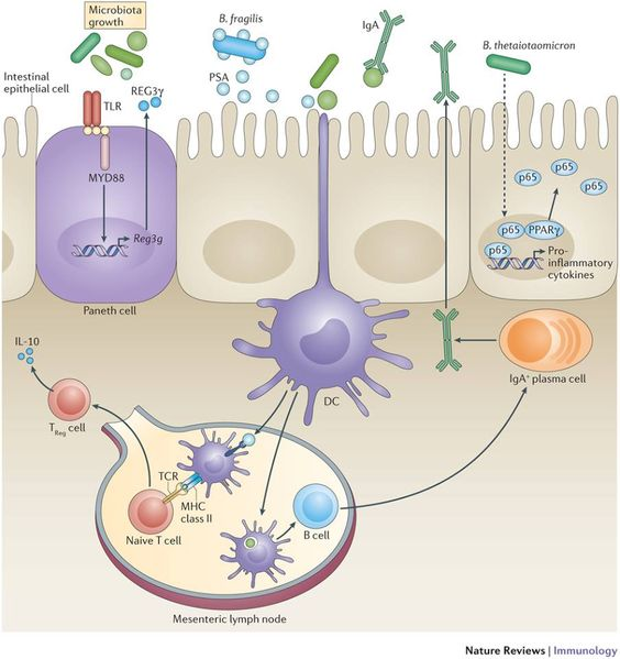Nature Reviews Immunology: Enteric bacterial infections are a major cause of morbidity and mortality. In this Review, the authors describe the different types of mucosal defences — including innate and adaptive immune cells, epithelial cells and commensal microorganisms — that protect us against bacterial pathogens in the intestines.