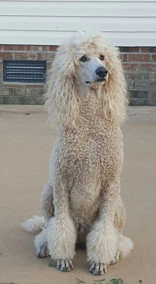 Poodles Smart Active And Proud Koira Villakoira