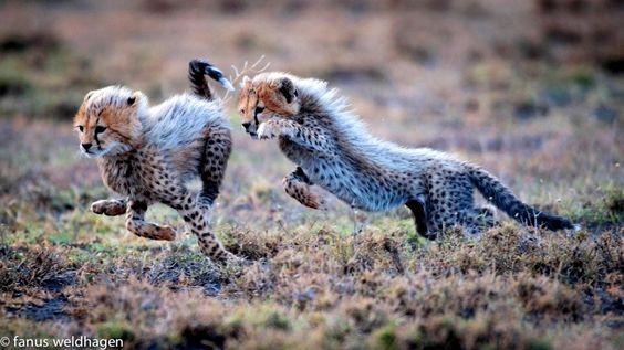 Weldhagen, Fanus - Cheetah Cubs Playing, II