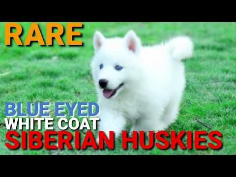 White Siberian Husky Puppies Blue Eyes Rare Huskies Blue Eye