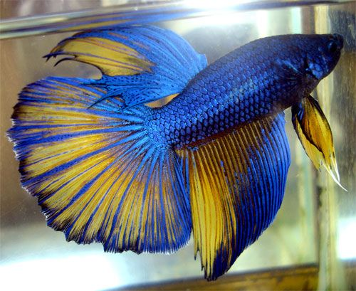 Colors betta and hawks on pinterest for Cool betta fish names