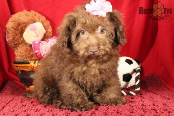 Schnoodlepuppy Schnoodle Charming Puppiesofpinterest Pinterestpuppies Buckeyepuppies Puppies Pups Pup Puppy Funloving Schnoodle Puppy Schnoodle Puppies For Sale Puppies For Sale