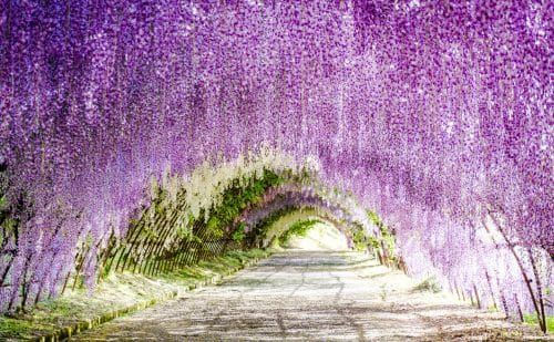 Wisteria Flowers Tunnel In Kitakyushu Japan In 2020 Wisteria Tunnel Kitakyushu Wisteria Tunnel Japan