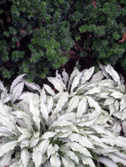 'Silver Shimmers', (zones 4 to 9) is a stunner for shaded areas. This plant thrives in woodland conditions, with moist, rich, well-drained soil in shade, and grows 1 to 2 feet tall and wide. Give it a site with good air circulation, as some Pulmonaria are prone to mildew, though I've never seen it on this variety. It blooms blue in spring.