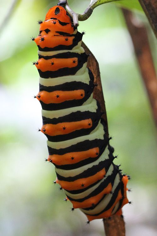 Rothschild Silk Moth Caterpillar