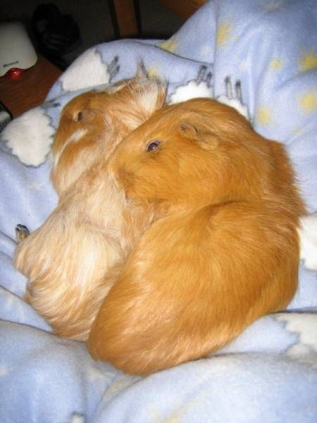 how to put a guinea pig to sleep