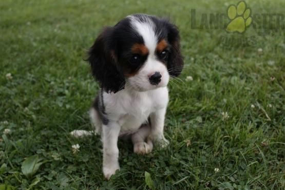 Meet Baxter Updated Pictures Cavalier King Charles Spaniel
