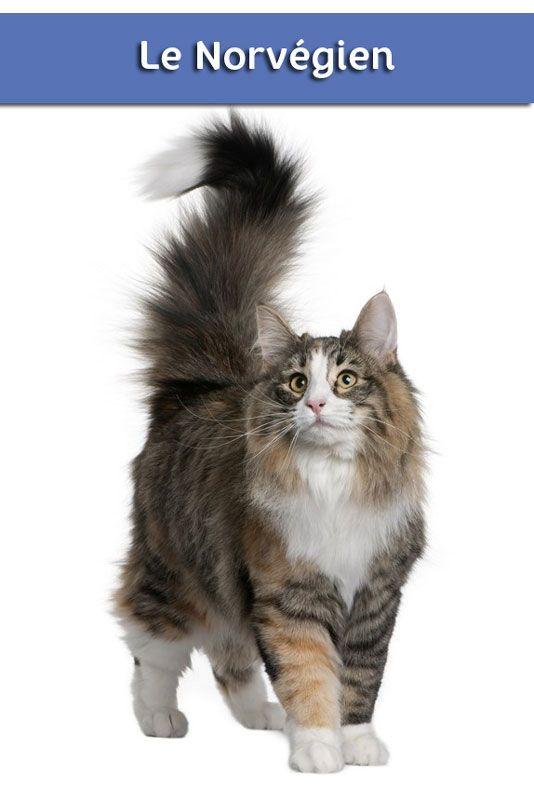 Tout Savoir Sur Les Chats : savoir, chats, Savoir, Norvégien., #chat, #chat_norvegien, #VillaVerde, Image, Chat,, Chats, Chatons,, Adorables