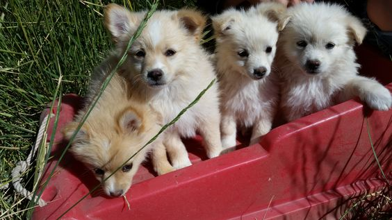 Pomsky puppies for sale! Our most recent litter from High Mesa Huskies is ready to go to their new homes!