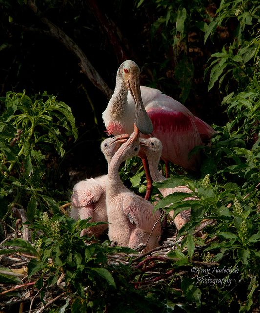 Great photography! Roseate Spoonbill family, via Flickr.