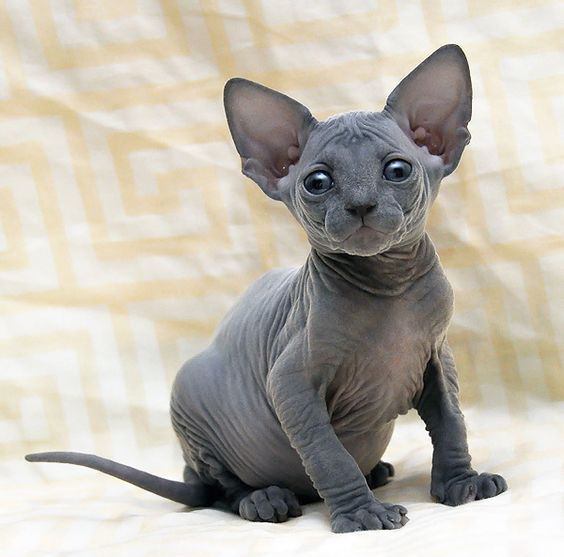 Sphynx kitten....yes still my fav and on my bucket list to love on one of these peach fuzz babies!
