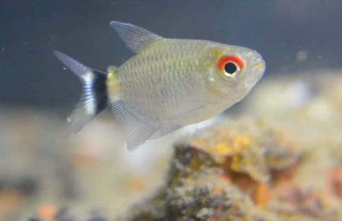 Red Eye Tetra Moenkhausia Sanctaefilomenae Fish Tank Plants Fish Tank Fish Pet