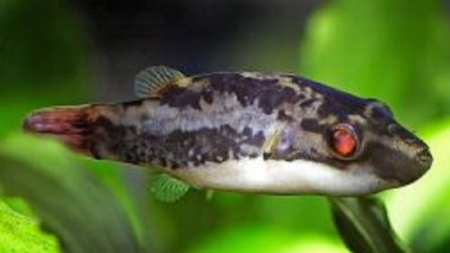 Dwarf Red Tailed Redeye Puffer Live Freshwater Aquarium Fish Puffer Fish Fish Fish For Sale